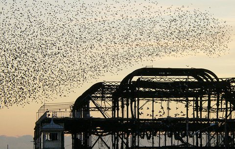 Starlings flocking over the West Pier, Brighton