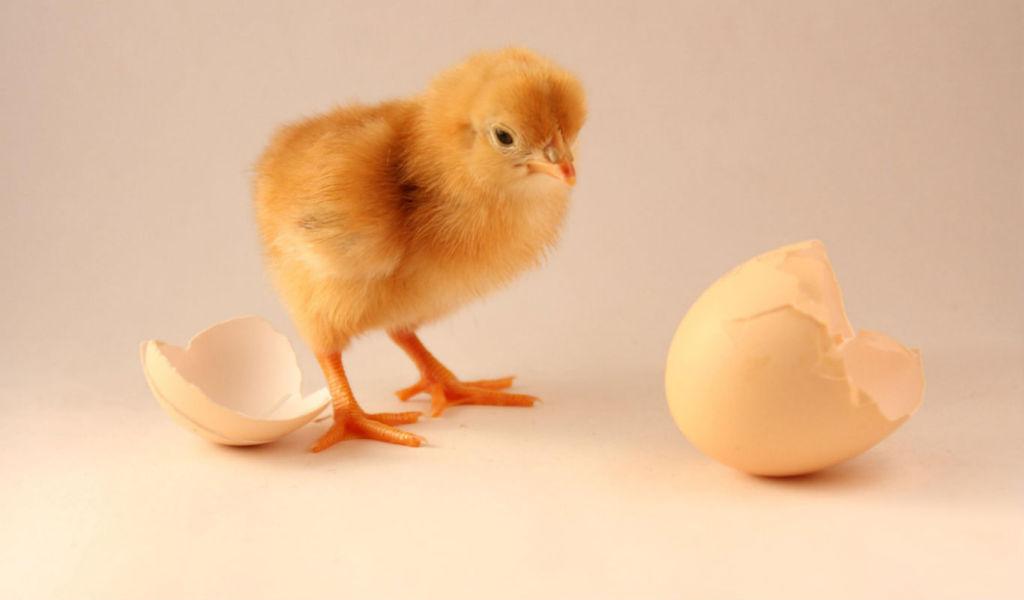 chick_shell_1366x800