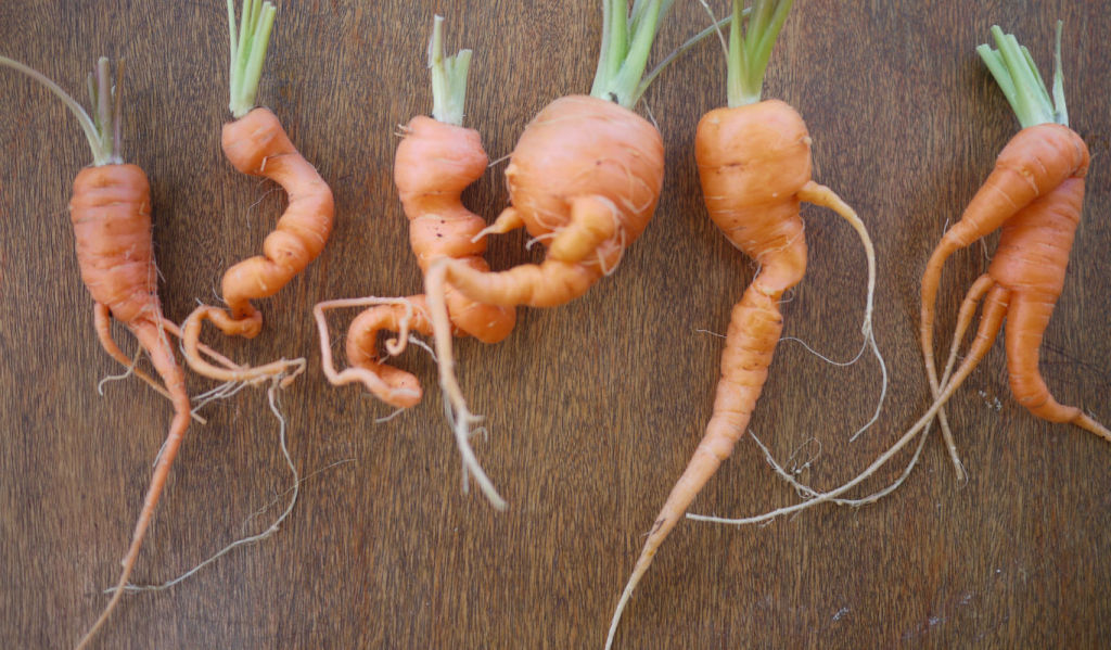 knobbly_carrots_3
