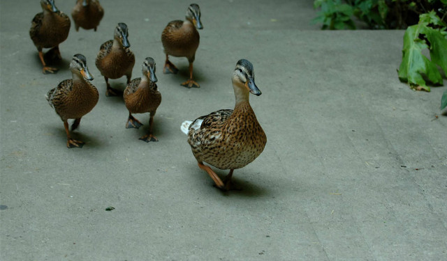duck_leader